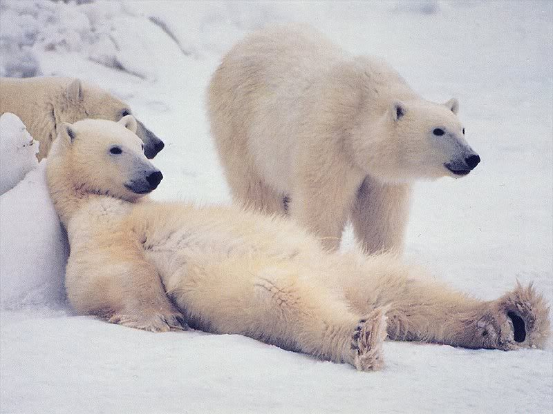 День полярного медведя. Отдых