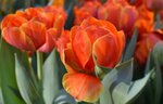 тюльпаны терракотовые.jpg