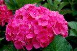 hydrangea-macrophylla-forever-pink-oct_lb-6.jpg