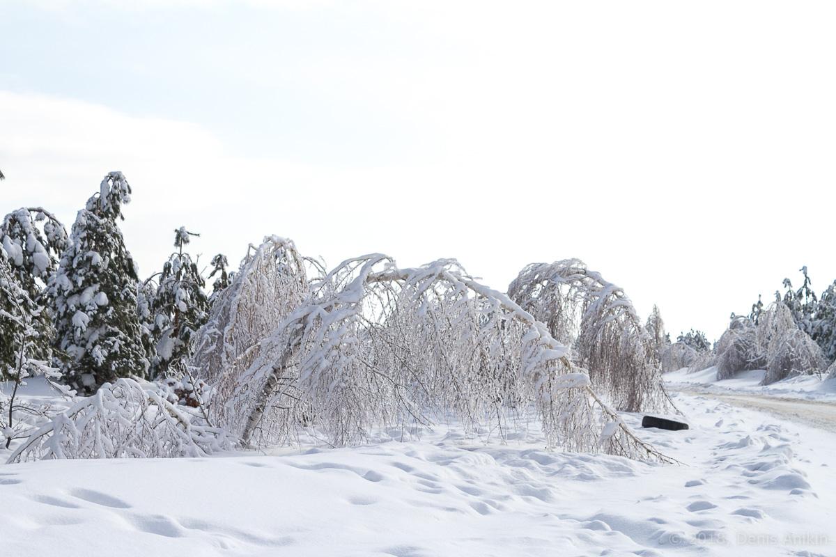 березы в снегу фото 6