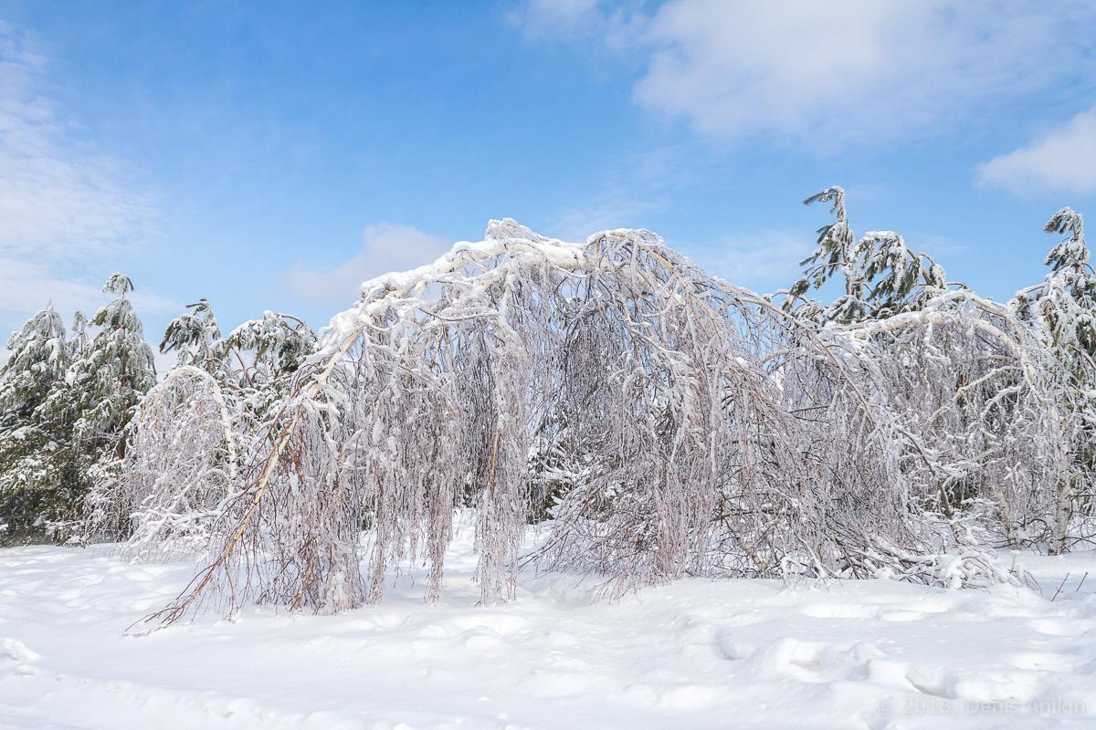 березы в снегу фото 9