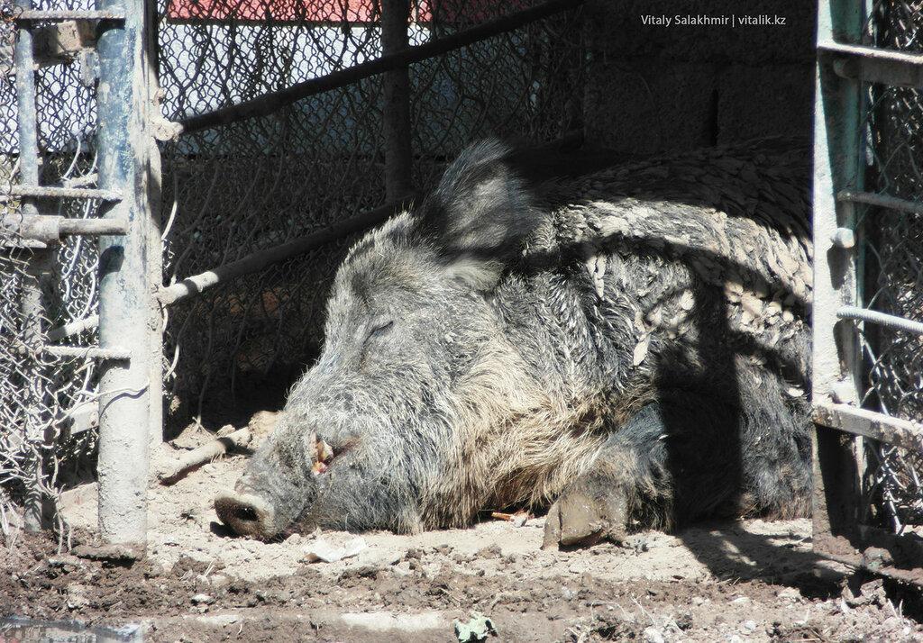 Кабан в зоопарке Шымкента
