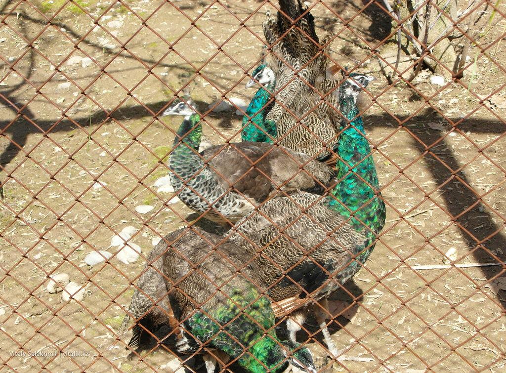 Павлины в зоопарке Шымкента