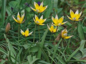 Тюльпан поздний (Tulipa tarda)Цветут ботанические тюльпаны в апреле