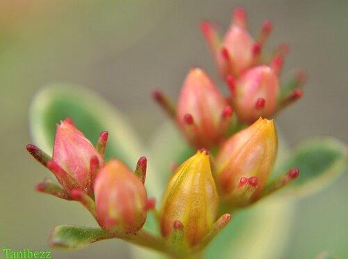 "Очиток (живучник) камчатский ""Variegatum"" / Sedum (aizopsis) kamtschaticum ""Variegatum"""