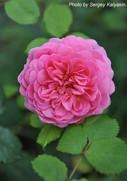Rosa Princess Alexandra of Kent (1).JPG