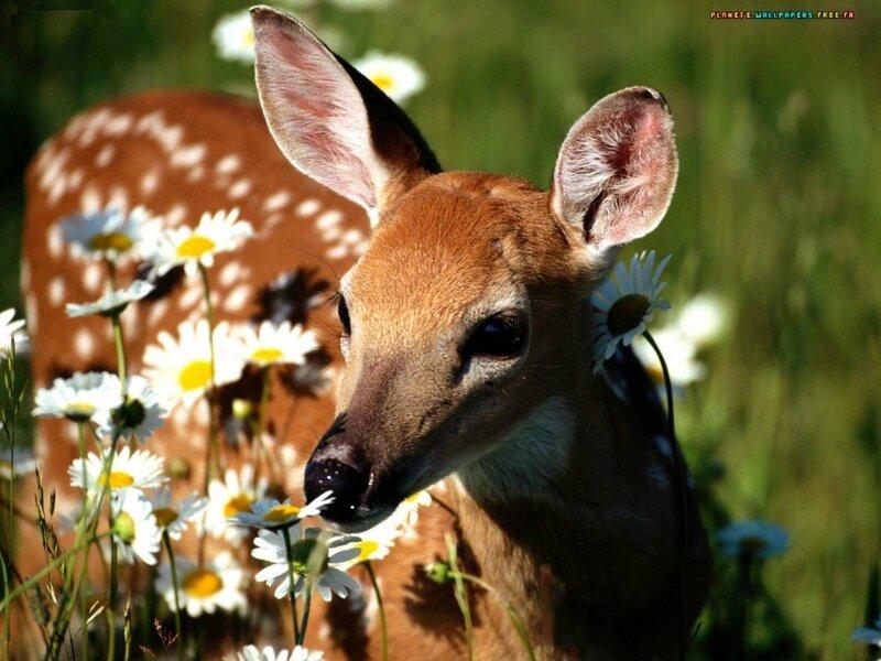 Biche_Deer_eb001.jpg
