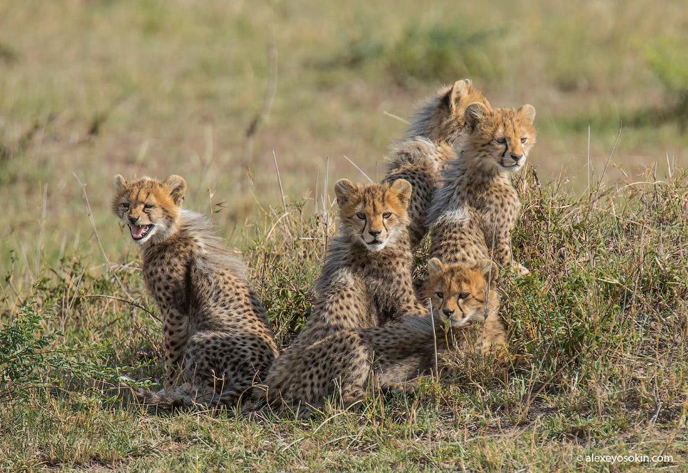 12. Также смотрите « Лицом к лицу с гепардом » и « Большие кошки от National Geographic ».