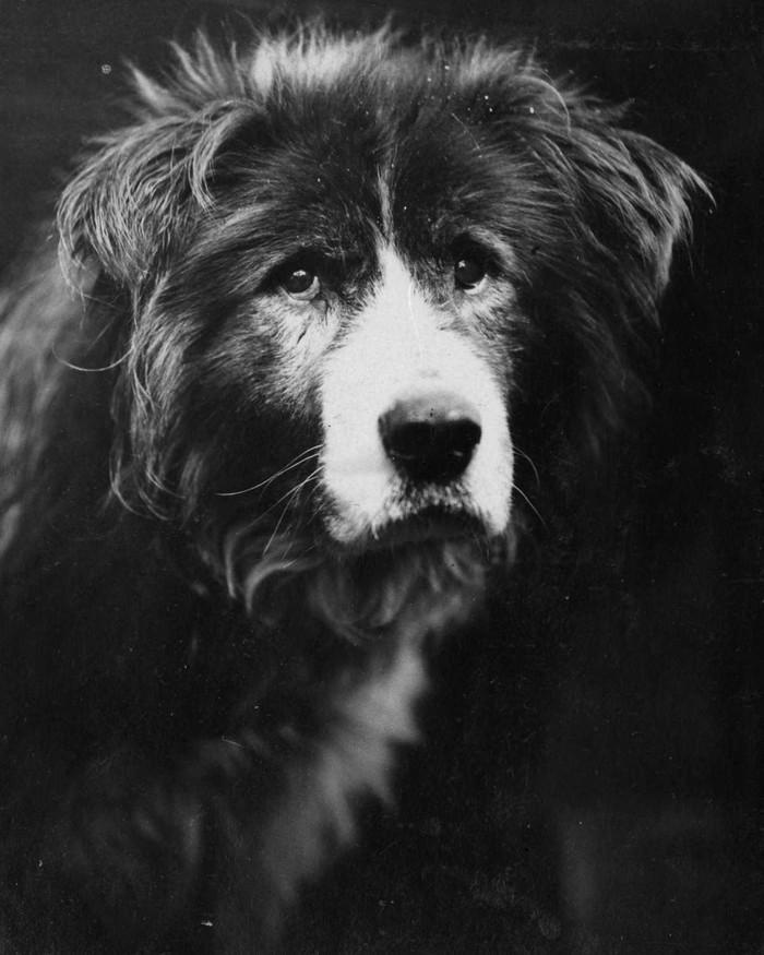 33. Ездовая собака Старый Боб.