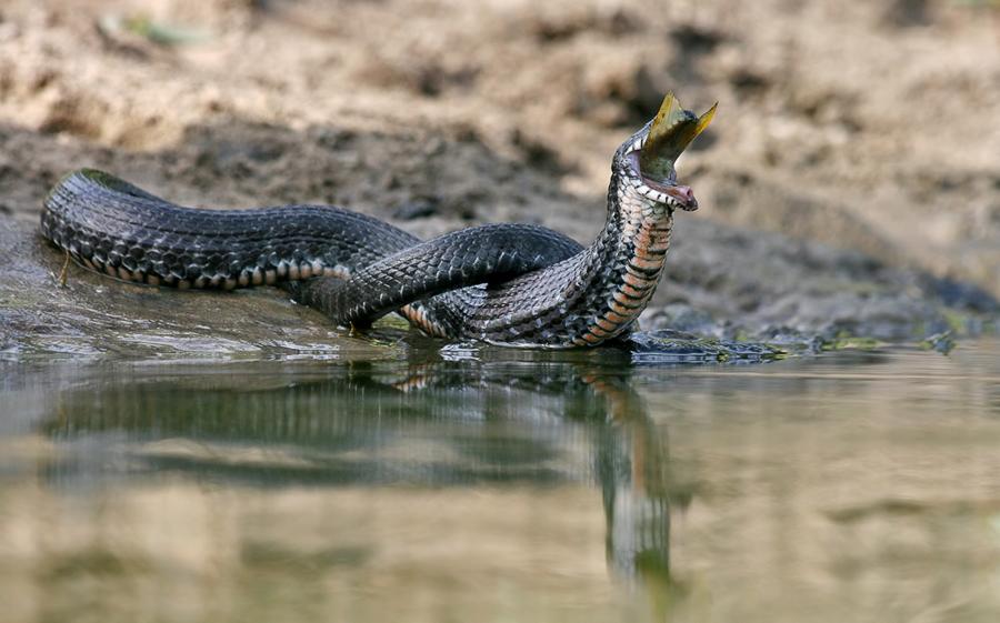 змеи зубы фото