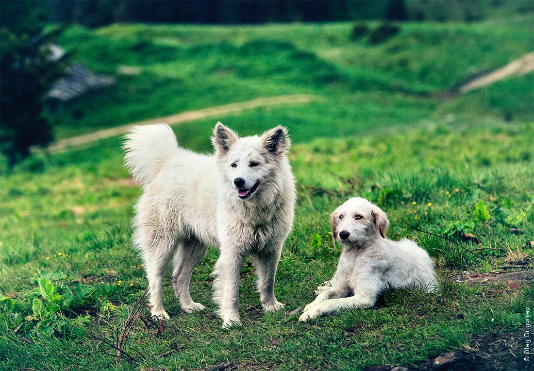 собаки пастухов