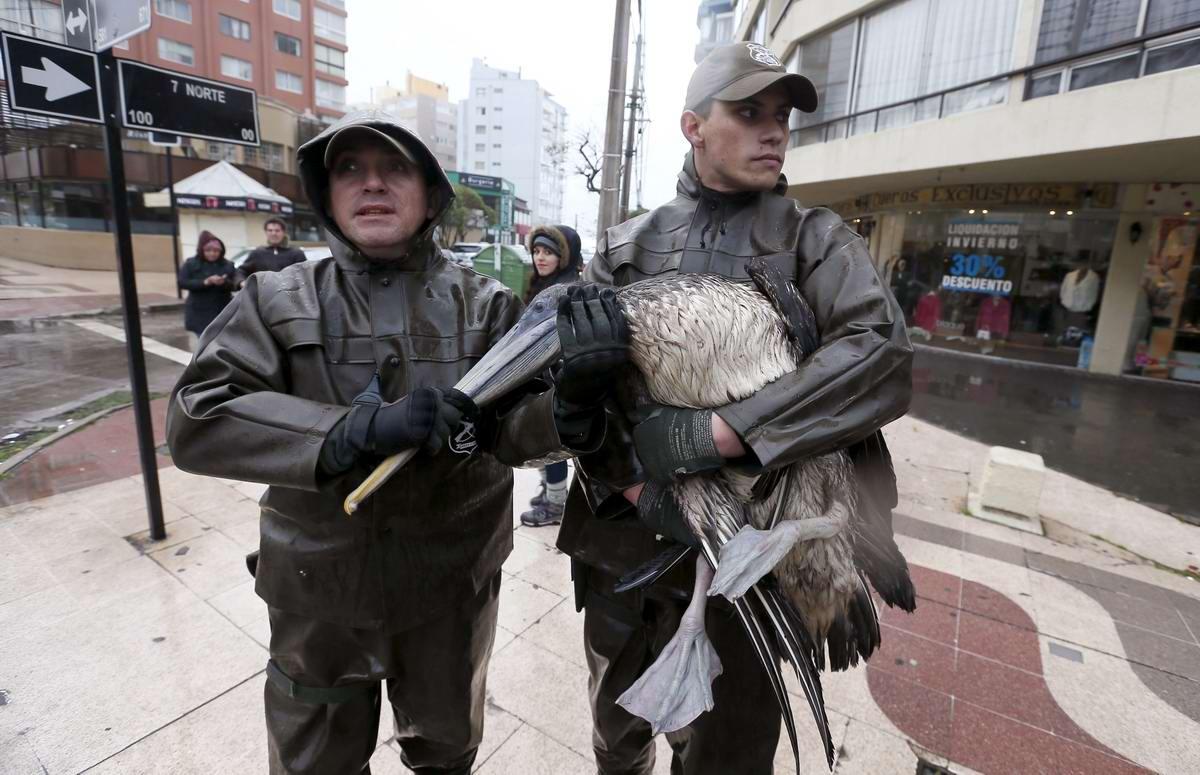 Спецоперация чилийской полиции: Задержание особо опасного пеликана