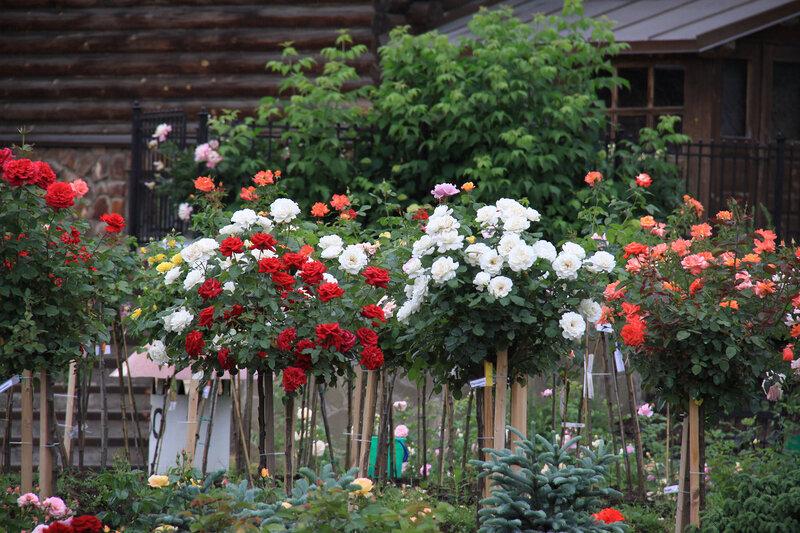 Приглашаем на цветение роз! Москва, ул Широкая, 27