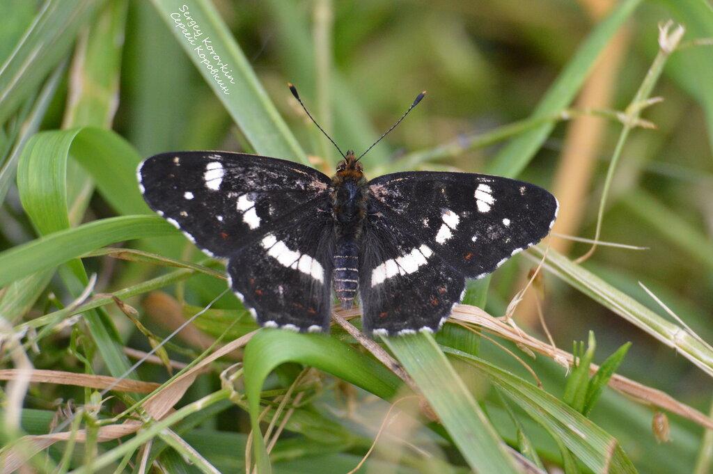 Бабочка Пестрокрыльница изменчивая