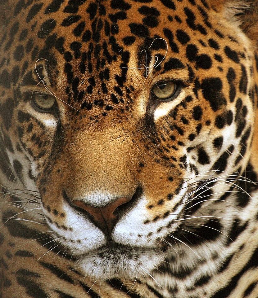 Фото ягуар зверь