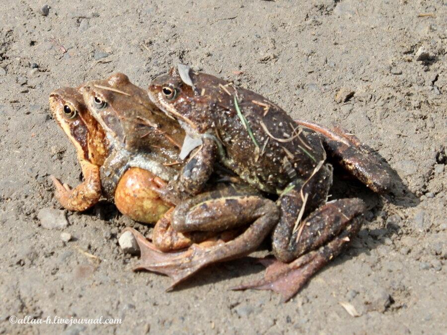 Секс жабки