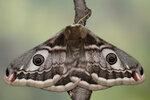 Чешуекрылые (Lepidoptera)