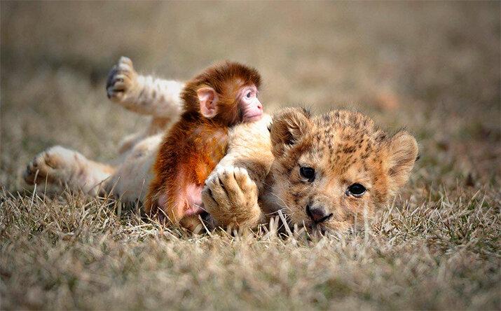 Львенок и обезьяна - животные из дикой природы, интересные кадры