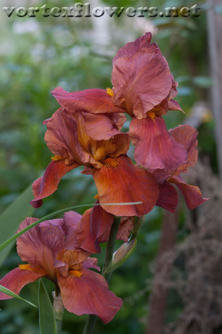 Фото живых цветов. Ирисы.