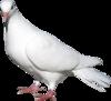 голубь png