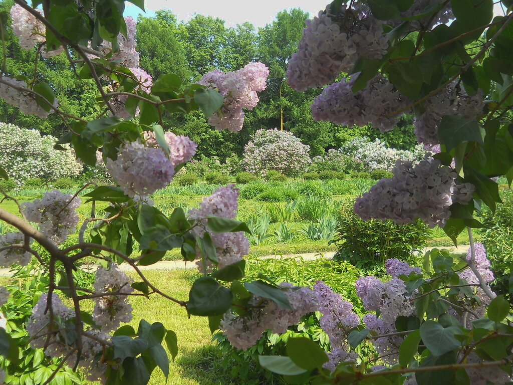 Сирень ботанический сад мгу