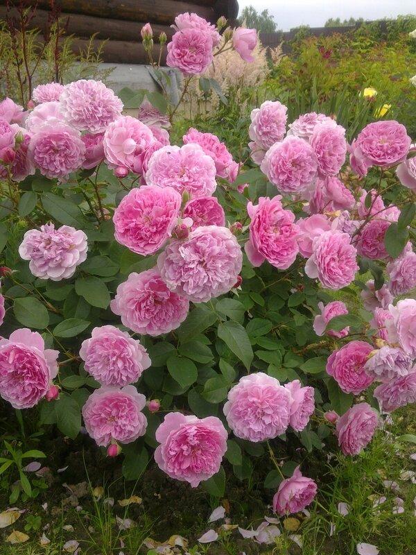 Английская роза Харлоу Карр (Harlow Carr) David Austin 2004