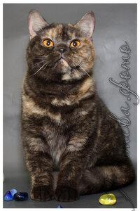 черный черепаховый серебристый британская короткошерстная кошка