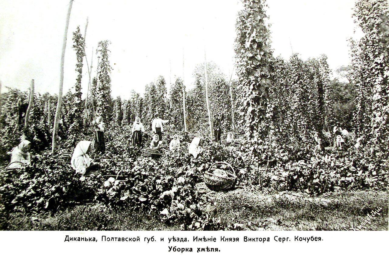 Имение князя Кочубея. Уборка хмеля