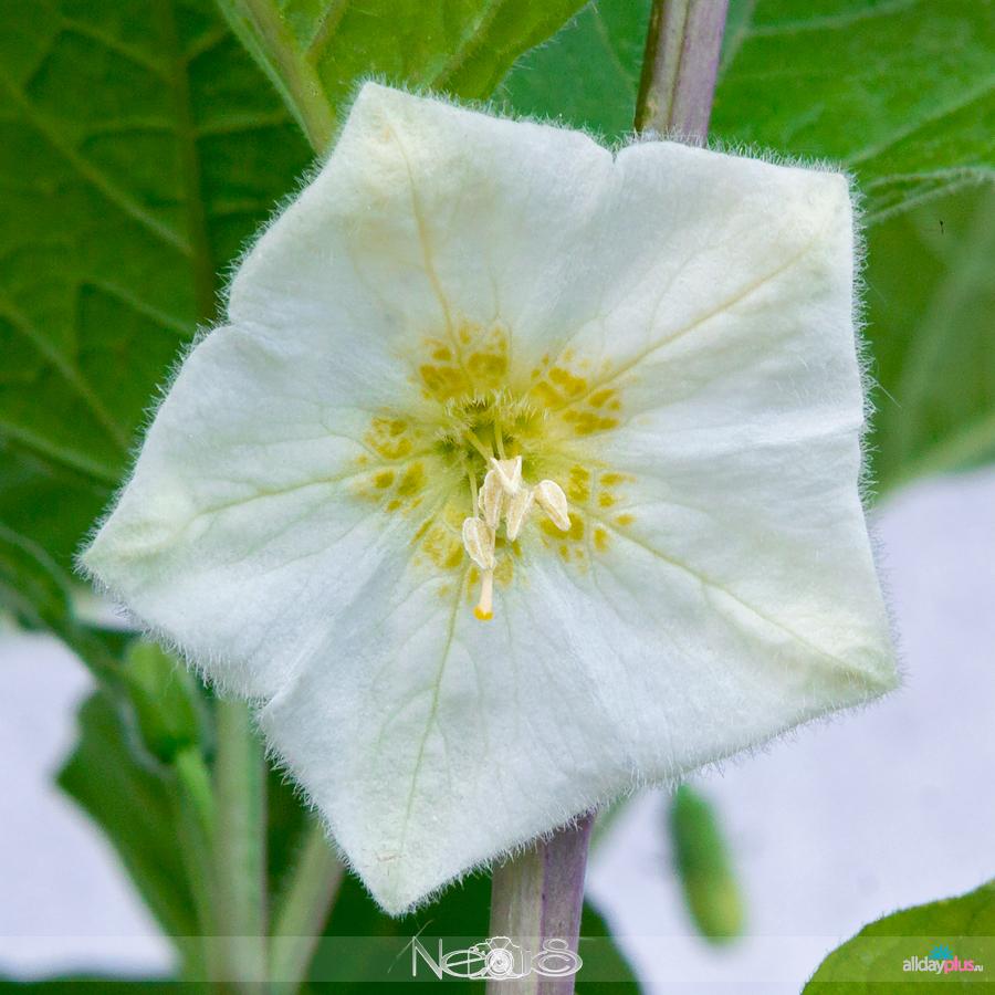 Я люблю все цветы, выпуск 136 | Физалис - «осенний фонарик».