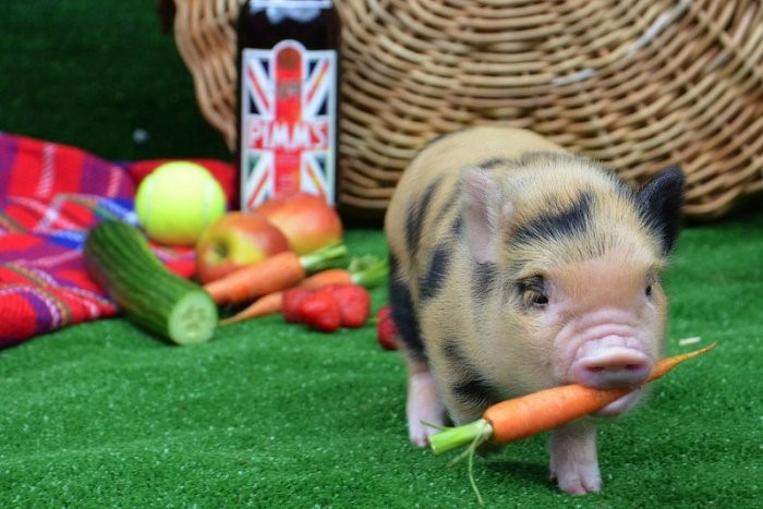минипиг любит морковку