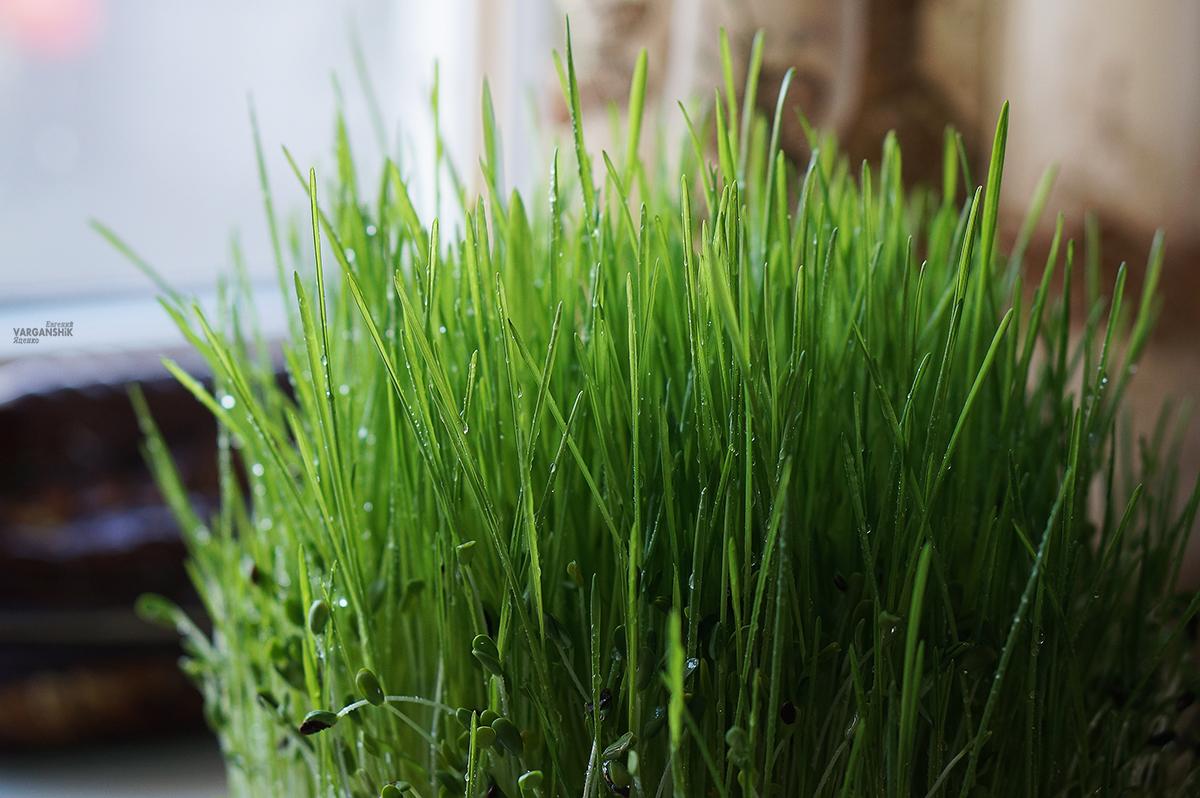витграсс (wheatgrass) сок проростков пшеницы
