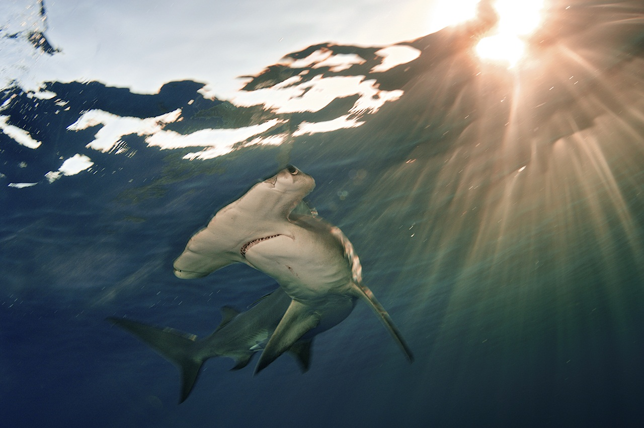 A Great Hammerhead, (Sphyrna mokarran), swims near the surface in The Bahamas near sunset.