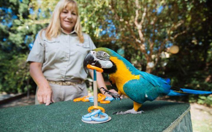 Этот восьмилетний сине-желтый ара по имени Скиппер за минуту забросил на штырь 19 колечек.