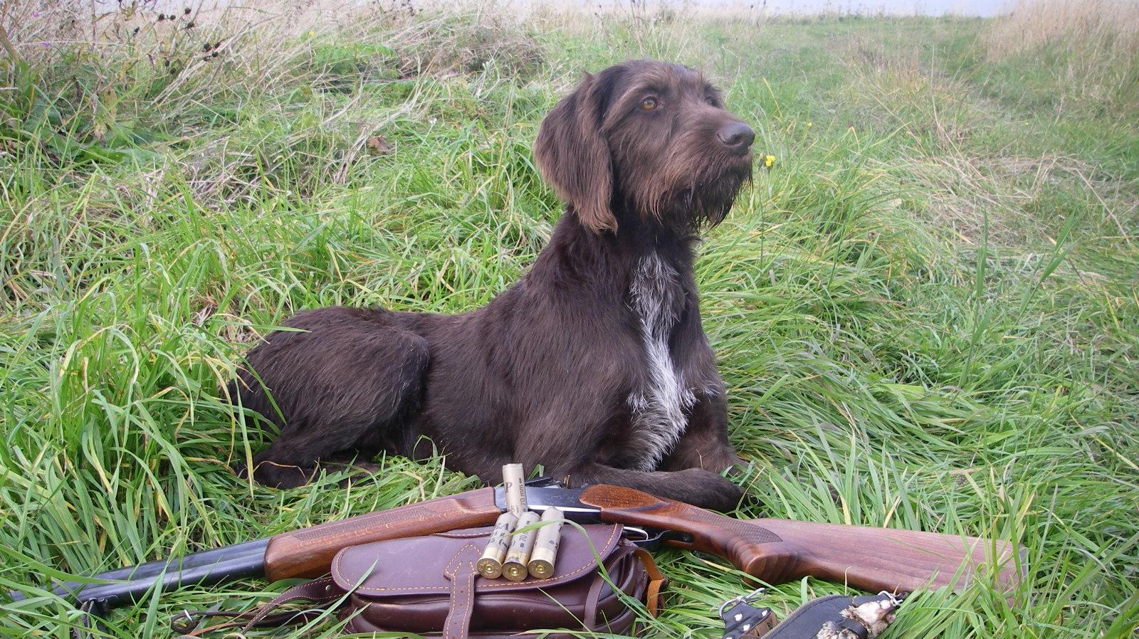Не просто охотник, а лучший охотник – порода дратхаар (1 фото)