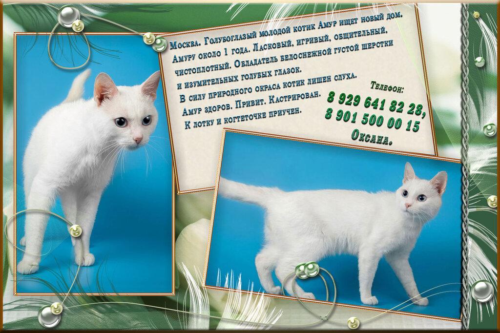 Москва. Голубоглазый молодой котик Амур ищет новый дом.