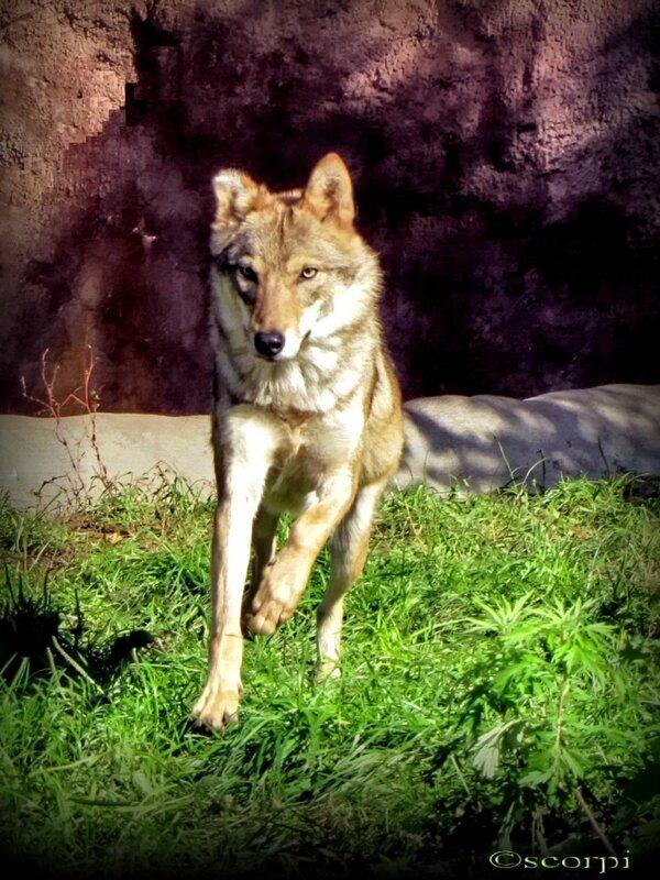 ...сердитый волк порою пробегал