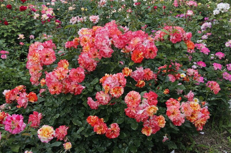 Роза полиантовая Альфред Сислей (Alfred Sisley® delstrijor) Delbard 2004 Посадка 2010 года
