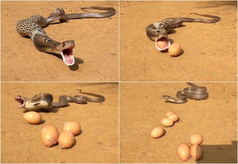 Кобра сожрала 8 яиц в курятнике, но отрыгнула 7 назад, чтобы скрыться от ловца змей