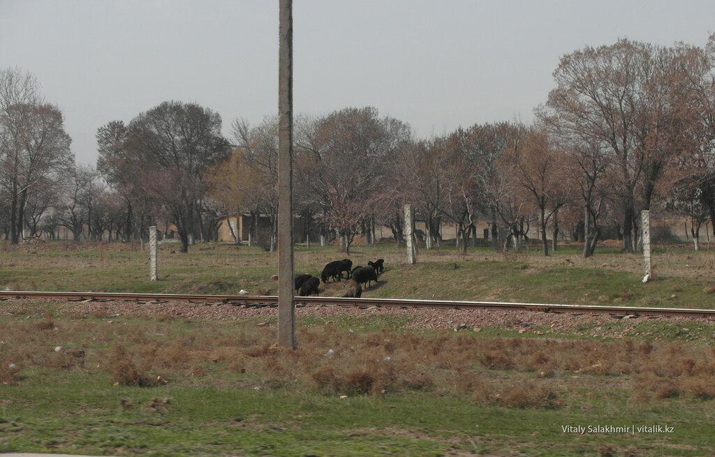 Бараны возле Ташкента Узбекистан