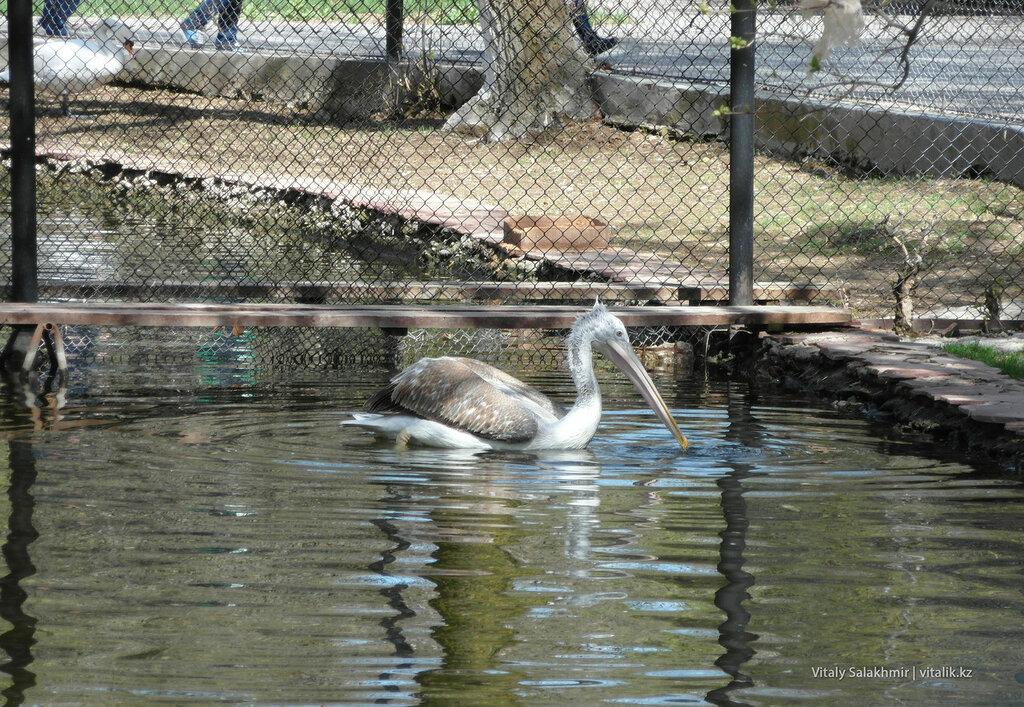Пеликан в зоопарке Шымкента