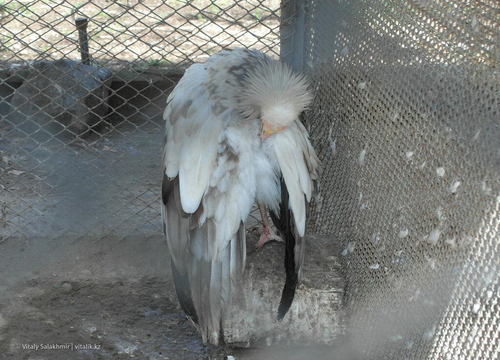 Стервятник в зоопарке Шымкента