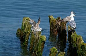 Куда смотрят чайки?