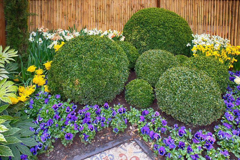 the Round bowls of boxwood as an example of landscape design in the botanical garden of Keukenhof in the spring