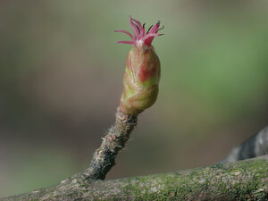 Лещина обыкновенная (Corylus avellana)Женские цветки лещины (пыльники) в апреле