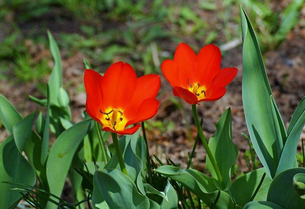 тюльпаны апреля