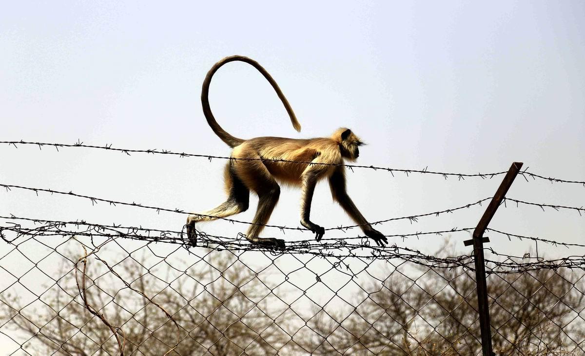 А мне все пофигу!: Индийская мартышка, гуляющая по колючей проволоке