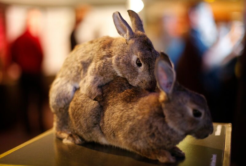 Stuffed copulating rabbits are displayed at exhibition