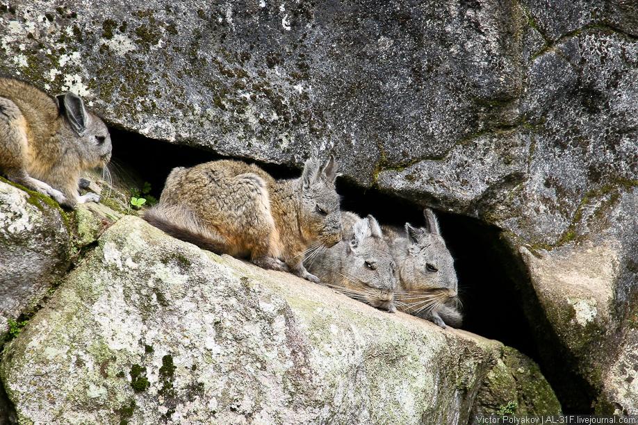 Вискачи Мачу-Пикчу