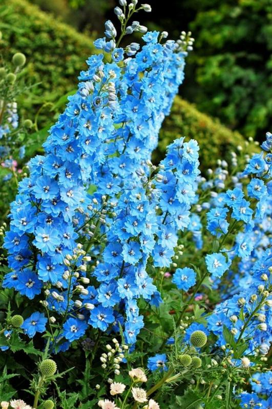 Цветник синий - цветник надежды-дельфиниум