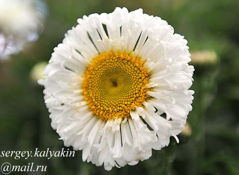 Leucanthemum superbum Real Neat.JPG